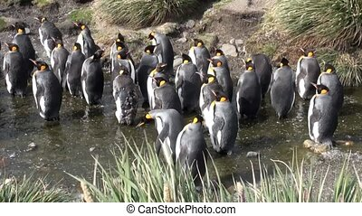 Imperial penguins in creek on background of green mountains...