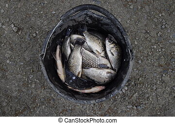 River fish in a plastic bucket. Fish catch. Carp and carp. Weed fish.