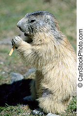 Marmot standing and eating, in Savoy, France - Marmot...
