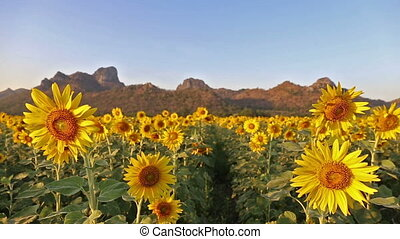 flowering sunflowers on a hill and background sunset time -...