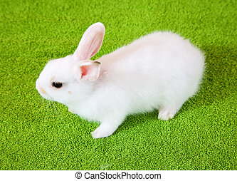 white rabbit - Little white rabbit stands over green...