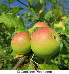 Booscop, a beautiful old apple variety, which is very tart...