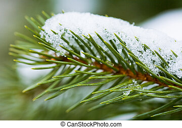 Pine branch - Close-up of green pine branch with melting...