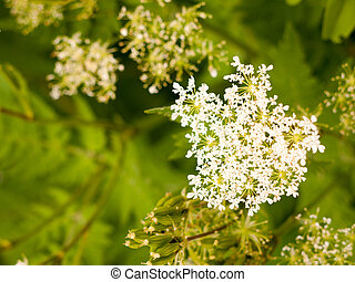 beautiful white domesticated cow parsley in garden in spring...
