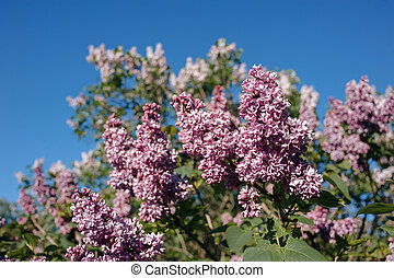lilac flowers with green leaves in sunny spring day