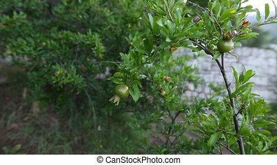 Small pomegranates on the tree in Montenegro.