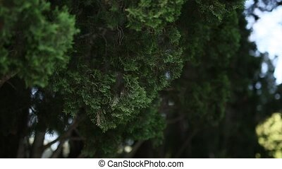 Green branches of cypress in Montenegro forest - Green...