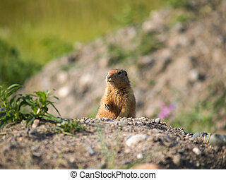 Small wild animal woodchuck stands looking over brow of...