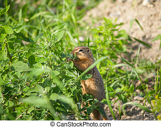 Small animal feeding. - Small North American animal,...