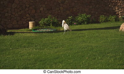 White albatross walks on green lawn in the morning