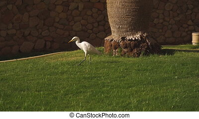 White albatross walks through the green grass near the tree