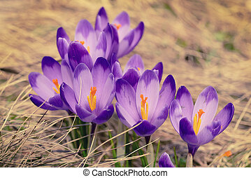 Spring crocus flowers - Beautiful violet crocuses flower...