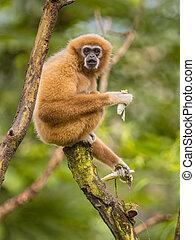 Lar gibbon eating banana on branch in rainforest jungle -...
