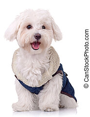 smiling for the camera - cute bichon maltese wearing clothes...