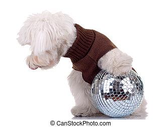 bichon  playing with disco ball