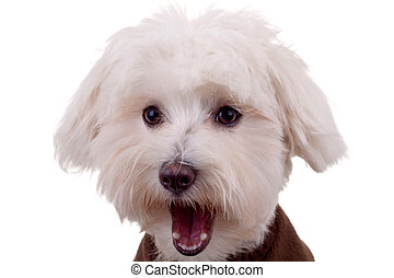 amazed bichon face - cute face of a bichon with tongue...