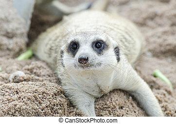 Suricata suricatta meerkat