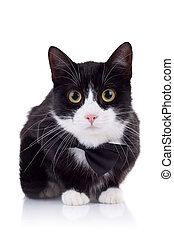 cute black and white cat wearing a neck bow looking at the...