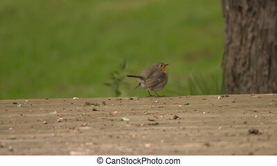 robin searching for food