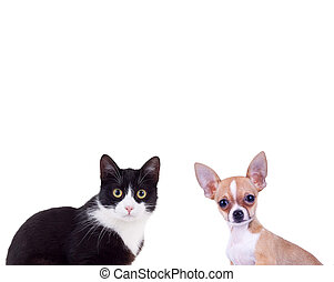 black and white cat near little chiwawa puppy dog isolated...