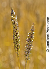 wheat in a field - ears of wheat on a grain field of a...