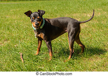 Life-threatening pinscher on the meadow - Dwarf pinscher on...