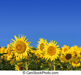 Field of sunflowers against the blue sky