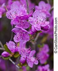 Closeup Rhododendron dauricum flowers. Spring blossoming in...