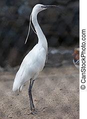 Bubulcus ibis. Cattle egret.