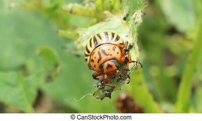 colorado bug gobble up the leaves of potatoes - colorado...