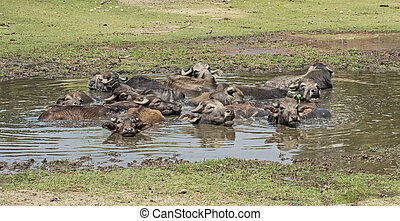 Herd of domesticated water buffalo livestock in water hole -...