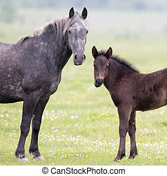 Mae and foal - Mare and foal standing on meadow and looking...