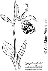 cypripedium orchids on white background