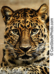 Jaguar - A closeup portrait of a beautiful jaguar