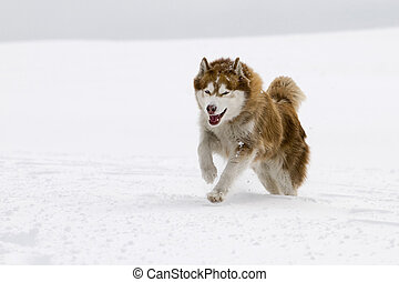 Siberian Husky running towards camera