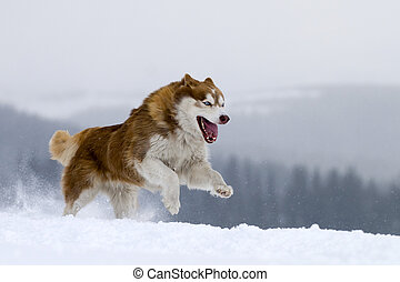 Siberian Husky - Husky running , showing big sharp teeth