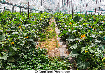 Hothouse - Vegetables plantations in a green house.