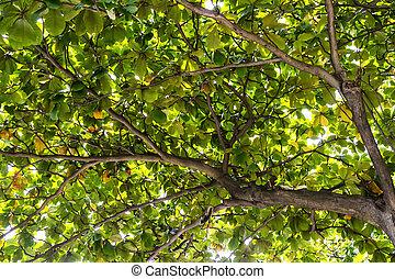Sea almond in the garden