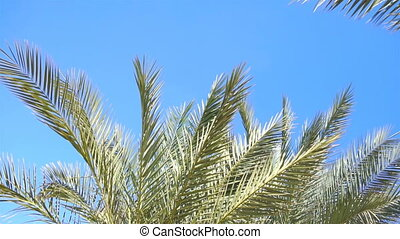 branches of Green Palm trees against the blue sky close-up