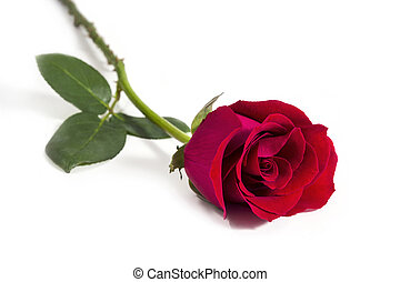 Red rose on white background