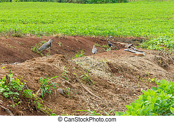 Southern Lapwing in Soy plantation in Linha Alegre, Mucum,...