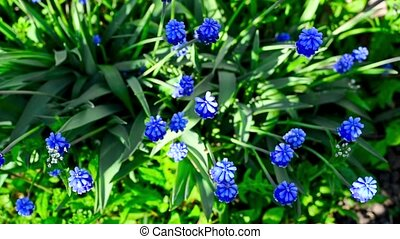 Blossoming muscari flower