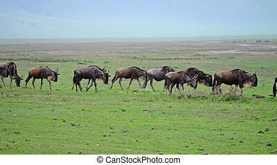 Wildebeests in Ngorongoro crater - Herd of wildebeests is...