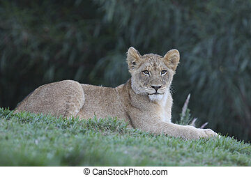 Lion Cub - Lion cub sitting with grass in the foreground.
