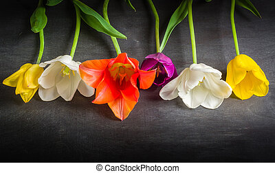 Multicolored tulips on a black background. Contrast image....