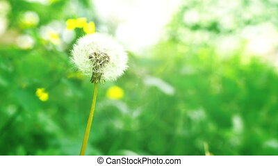 Dandelion on green background. Sunny day. Close view