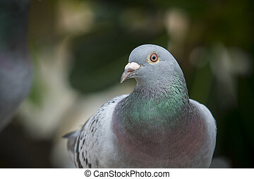 close up full body of speed racing pigeon bird on g reen...