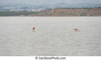 Pink Flamingo on Lake in Cyprus