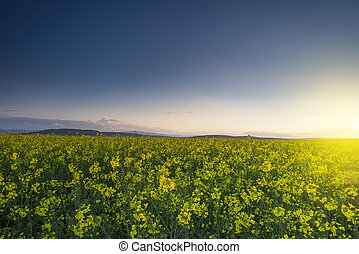 Yellow rape field with sunset sky - colorful landscape of...