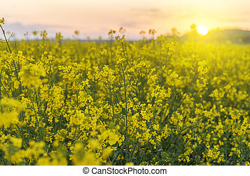 yellow rape field - picturesque landscape, beautiful yellow...